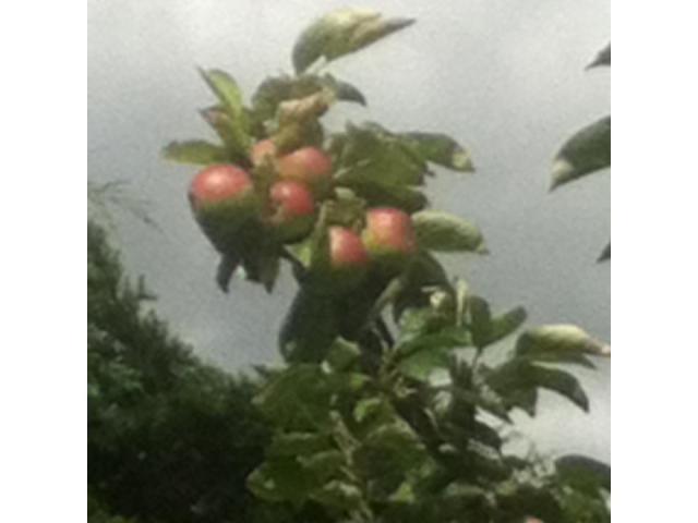 Branch full of apples.