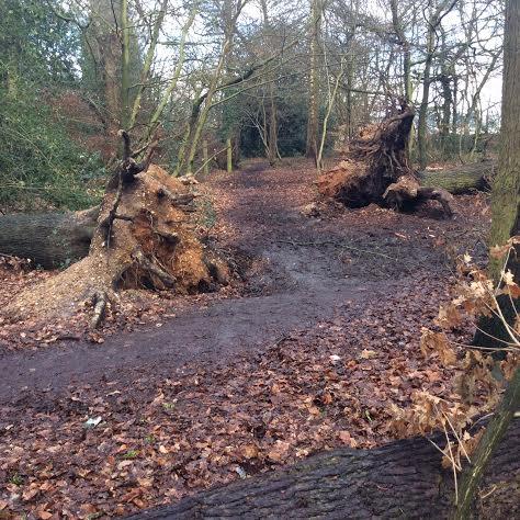 3 fallen oaks