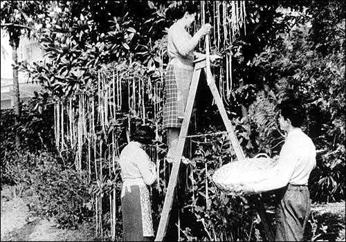 Swiss Spaghetti Tree Hoax