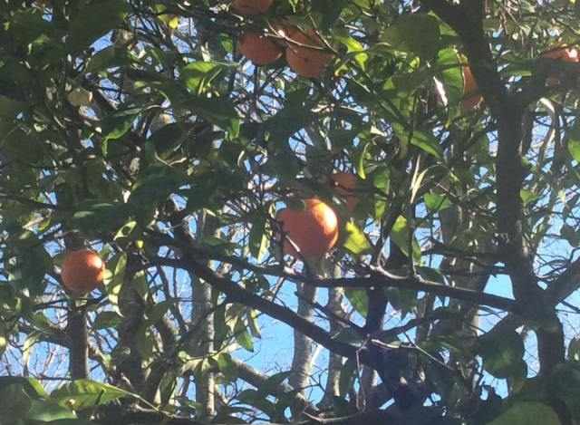 Oranges on trees in a Lisbon park.