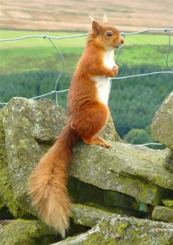 Red Squirrels in Northumberland