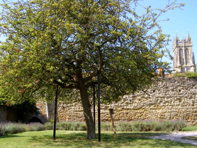The Holy Thorn in Glastonbury Abbey