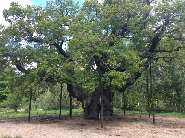Robin Hood and the Major Oak