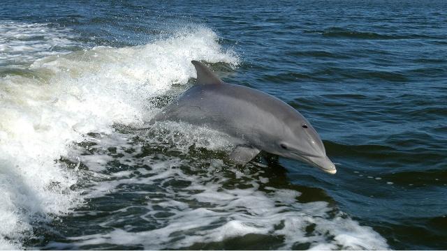 dauphin-tursiops-truncatus
