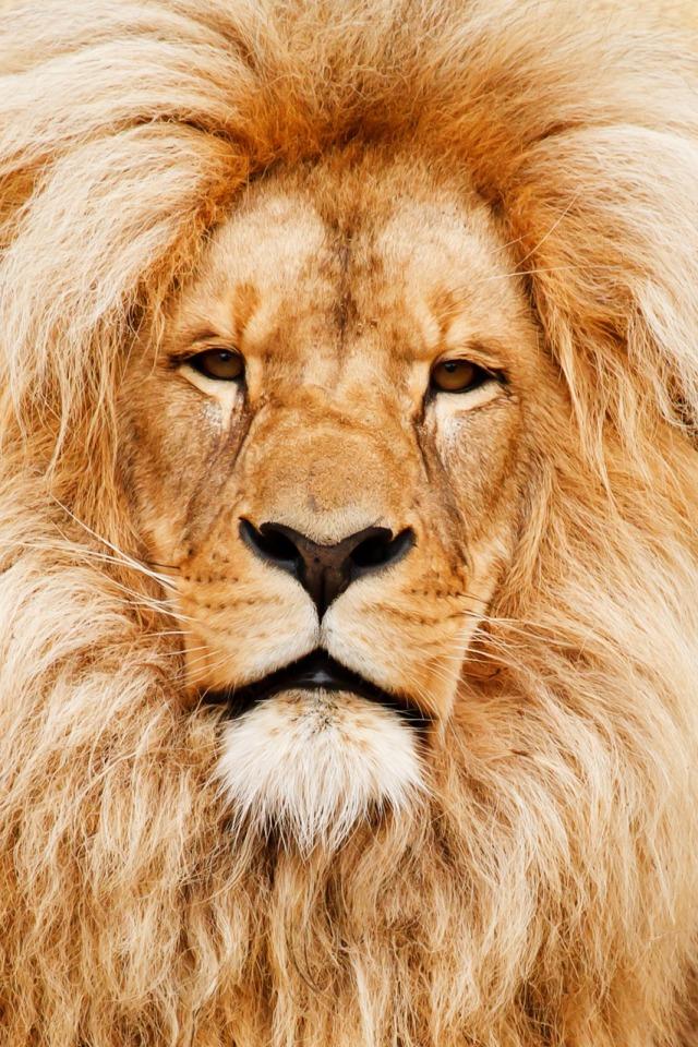 lion-portrait-11294081601ws1