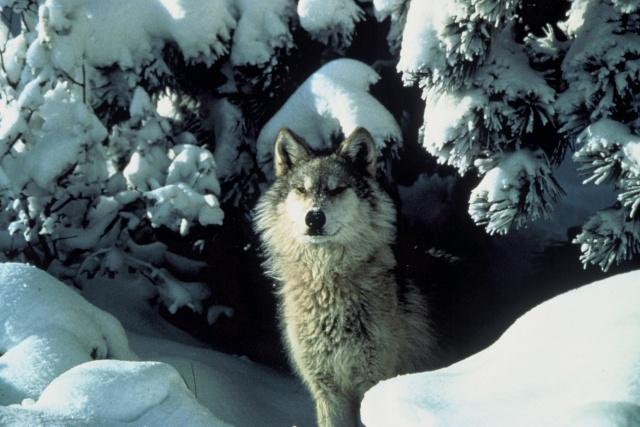 wolf-in-snow-1459565714jsm