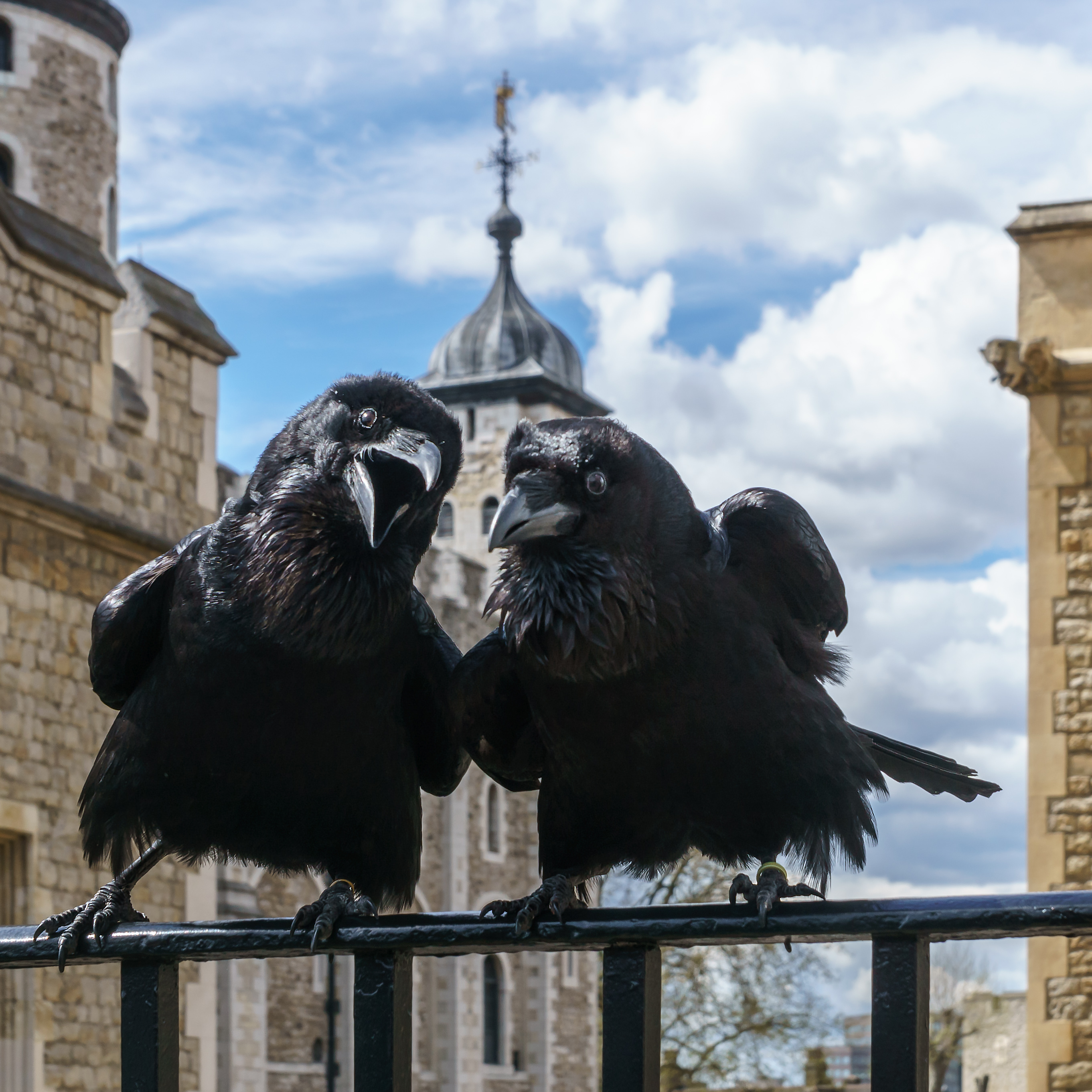 Jubilee and Munin, Ravens, Tower of London.