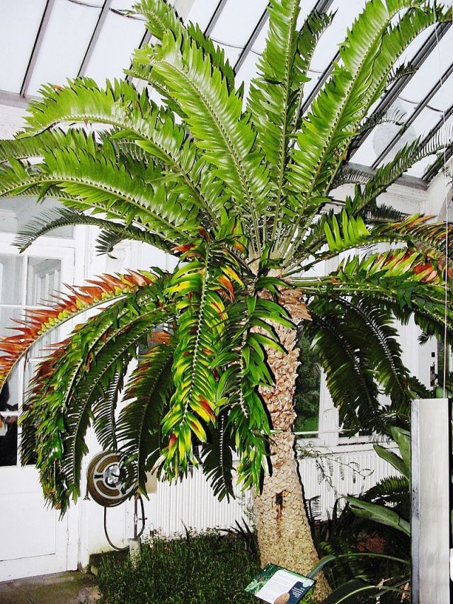Encephalartos woodii in Kew before the renovation of the Temperate House
