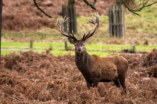 Red_Deer_Stag
