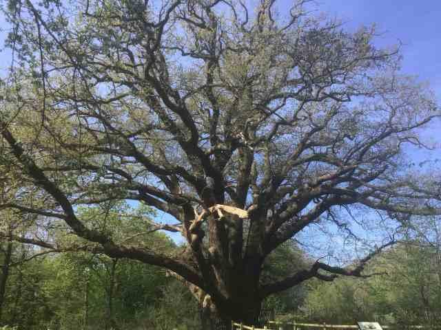 The Master Oak