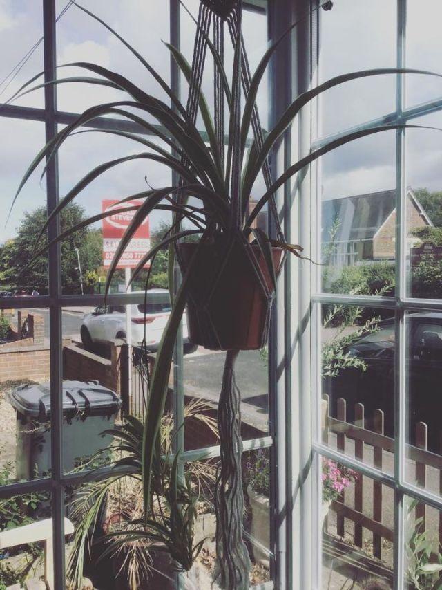 Hanging spider plant